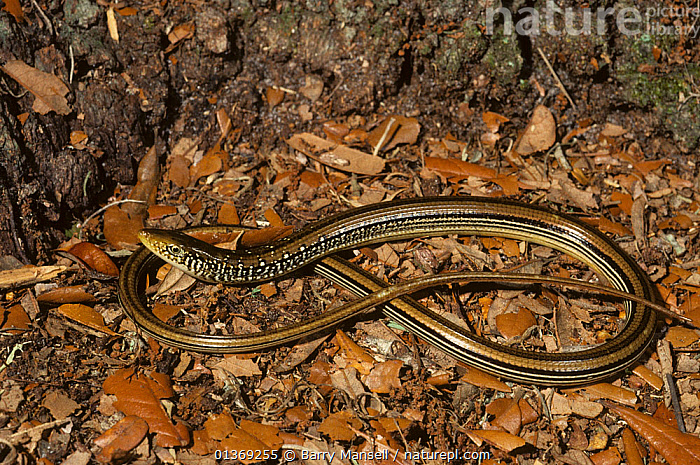 Mimic glass lizard (Ophisaurus mimicus) Bay Co. Florida, USA  ,  GLASS LIZARDS,LIZARDS,REPTILES,USA,VERTEBRATES,North America  ,  Barry Mansell