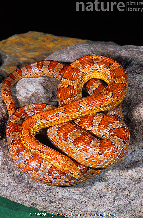 Nature Picture Library - Red rat snake / Corn snake (Elaphe