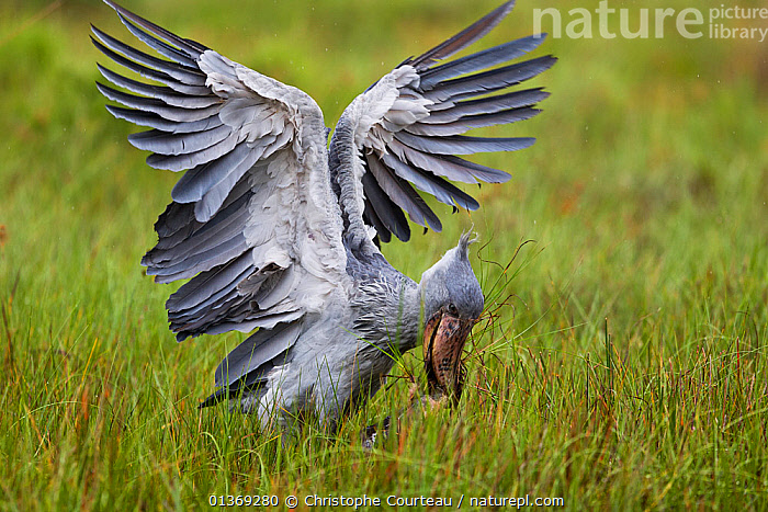 Whale headed / Shoebill stork (Balaeniceps rex) catching a Lungfish (Protoperus sp) in the swamps of Mabamba, Lake Victoria, Uganda   / Bec en sabot, dipneuste, Lac Victoria, Ouganda  ,  AFRICA,BALAENICIPITIDAE,BEHAVIOUR,BIRDS,catalogue4,close up,EAST AFRICA,ENDANGERED,FEEDING,FISH,FISHING,food chain,GRASSES,Hunger,Lake Victoria,LUNGFISH,Mabamba,merciless,mixed species,MIXED SPECIES,Nobody,plumage,PREDATION,Protoperus sp,SHOEBILL STORK,STORKS,swamp,SWAMPS,two animals,Uganda,VERTEBRATES,vicious,WETLANDS,WILDLIFE,wings spread  ,  Christophe Courteau
