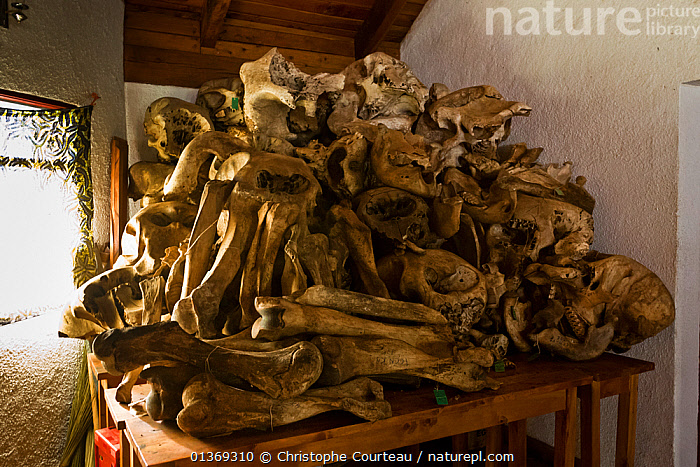Collection of bones of dead Elephants from Kahuzi-Biega NP, Democratic Republic of Congo, August 2010.