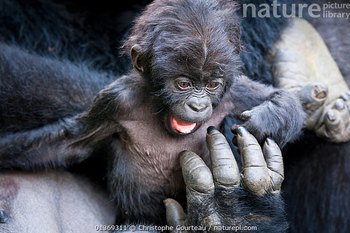 Eastern lowland gorilla (Gorilla beringei graueri) baby playing in mother's arms, Kahuzi Biega NP, Democratic Republic of Congo.  Gorille de plaine de l'Est, Republique Democratique du Congo.  ,  AFRICA,BABIES,CENTRAL AFRICA,DRC,ENDANGERED,GREAT APES,HANDS,HOMINIDAE,MAMMALS,NP,PLAY,PLAYING,PRIMATES,RDC,TROPICAL RAINFOREST,VERTEBRATES,National Park,Communication  ,  Christophe Courteau