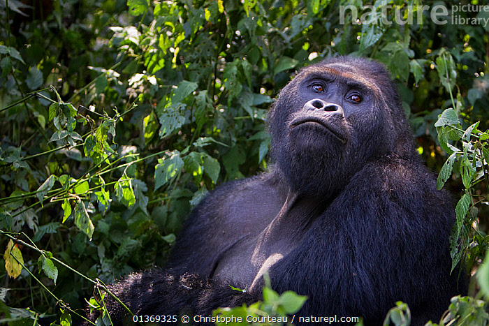 Eastern lowland gorilla (Gorilla beringei graueri) silverback dominant male in forest, looking up, Kahuzi Biega NP, Democratic Republic of Congo.  Gorille de plaine de l'Est, Republique Democratique du Congo.  ,  AFRICA,CENTRAL AFRICA,DRC,ENDANGERED,GREAT APES,HABITAT,HOMINIDAE,MALES,MAMMALS,NP,PRIMATES,RDC,SILVER BACK,TROPICAL RAINFOREST,VERTEBRATES,National Park  ,  Christophe Courteau