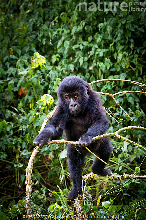 Eastern lowland gorilla (Gorilla beringei graueri) young gorialla playing in forest, Kahuzi Biega NP, Democratic Republic of Congo.  Gorille de plaine de l'Est, Republique Democratique du Congo.  ,  AFRICA,BABIES,BEHAVIOUR,CENTRAL AFRICA,CLIMBING,CUTE,DRC,ENDANGERED,GREAT APES,HOMINIDAE,MAMMALS,NP,PRIMATES,RDC,TROPICAL RAINFOREST,VERTEBRATES,VERTICAL,National Park  ,  Christophe Courteau