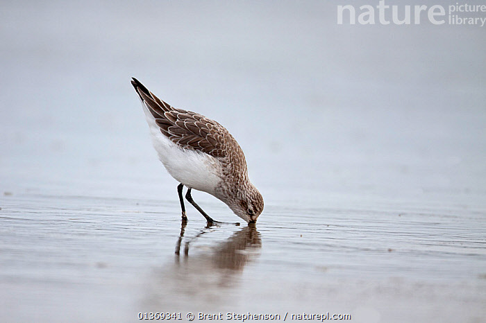 Non-breeding plumaged Curlew Sandpiper (Calidris ferruginea) foraging on mudflats with bill deeply inserted into the mud. Manawatu Estuary, Manawatu, New Zealand, September.  ,  AUSTRALASIA,BEHAVIOUR,BIRDS,FORAGING,NEW ZEALAND,SANDPIPERS,VERTEBRATES,WADERS  ,  Brent Stephenson
