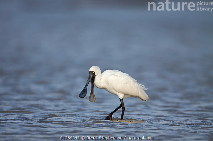 Royal Spoonbill (Platalea regia) in shallow water with bill wide open. Manawatu Estuary, Manawatu, New Zealand, September.  ,  AUSTRALASIA,BEAKS,BIRDS,COPYSPACE,HABITAT,NEW ZEALAND,SEA SURFACE,SPOONBILLS,SURFACE,VERTEBRATES  ,  Brent Stephenson