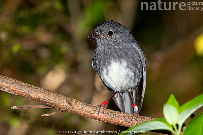 North Island Robin (Petroica longipes / australis) perched perched on a branch. Tiritiri Matangi Island, Auckland, New Zealand, September.  ,  AUSTRALASIA, BIRDS, NEW-ZEALAND, PETROICIDAE, PORTRAITS, rings, songbirds, Tags, VERTEBRATES  ,  Brent Stephenson