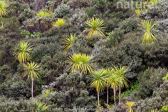 Cabbage / Palm Lily trees (Cordyline australis) amongst flowering manuka (Leptospermum scoparium) bushes. Tiritiri Matangi Island, Auckland, New Zealand, September.  ,  AGAVACEAE,AUSTRALASIA,FORESTS,HABITAT,LANDSCAPES,MONOCOTYLEDONS,NEW ZEALAND,PLANTS  ,  Brent Stephenson