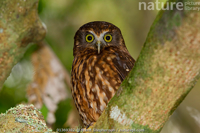 Southern Boobook Owl / Morepork (Ninox novaeseelandiae) roosting during the day in the forest sub-canopy. Tiritiri Matangi Island, Auckland, New Zealand, September.  ,  AUSTRALASIA,BIRDS,BIRDS OF PREY,EXPRESSIONS,LOOKING AT CAMERA,NEW ZEALAND,OWLS,PORTRAITS,VERTEBRATES,Raptor  ,  Brent Stephenson