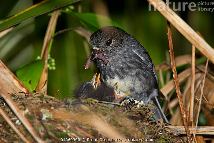 North Island Robin (Petroica longipes) feeding a large earthworm to its chicks at its nest. Tiritiri Matangi Island, Auckland, New Zealand, September.  ,  AUSTRALASIA, BEHAVIOUR, BIRDS, CHICKS, FEEDING, INVERTEBRATES, NESTS, NEW-ZEALAND, PARENTAL, PETROICIDAE, PREDATION, prey, songbirds, VERTEBRATES  ,  Brent Stephenson