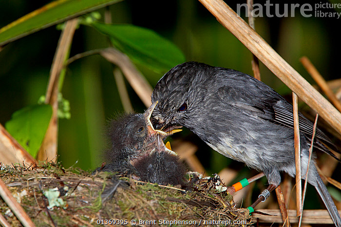 North Island Robin (Petroica longipes) feeding chicks at its nest in the sub-canopy. Tiritiri Matangi Island, Auckland, New Zealand, September.  ,  AUSTRALASIA, BEHAVIOUR, BIRDS, CHICKS, FEEDING, NESTS, NEW-ZEALAND, PETROICIDAE, rings, songbirds, Tags, VERTEBRATES  ,  Brent Stephenson