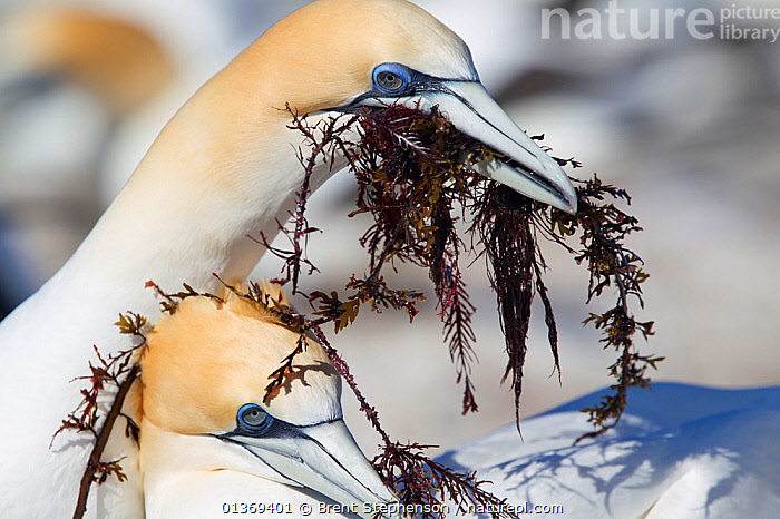 Male Australasian Gannet (Morus serrator) presenting seaweed to the female at the nest. Seaweed is used in constructing the nest. Cape Kidnappers, Hawkes Bay, New Zealand, September.  ,  AUSTRALASIA,BEHAVIOUR,BIRDS,COLONIES,COURTSHIP,GANNETS,MALE FEMALE PAIR,NESTS,NEW ZEALAND,SEABIRDS,SULA,SULIDAE,TWO,VERTEBRATES  ,  Brent Stephenson