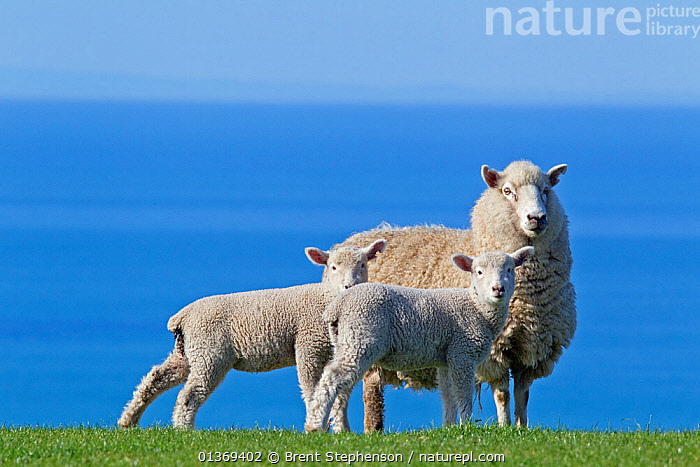 Domestic Sheep (Ovis aries) ewe and two lambs, probably Romney x Perendale. Unshorn. Cape Kidnappers, Hawkes Bay, New Zealand, September.  ,  alert,animal family,ARTIODACTYLA,AUSTRALASIA,Bovidae,BOVIDS,Cape Kidnappers,catalogue4,ewe,FAMILIES,female animal,full length,Hawkes Bay,horizon,horizon over water,JUVENILE,lamb,lambs,LIVESTOCK,looking at camera,MAMMALS,MOTHER BABY,new zealand,NEW ZEALAND,Nobody,Romney x Perendale,sea,SHEEP,STANDING,suspicious,THREE,three animals,Unshorn,VERTEBRATES,view to sea,watchful,YOUNG,young animal,Goats,Antelopes  ,  Brent Stephenson