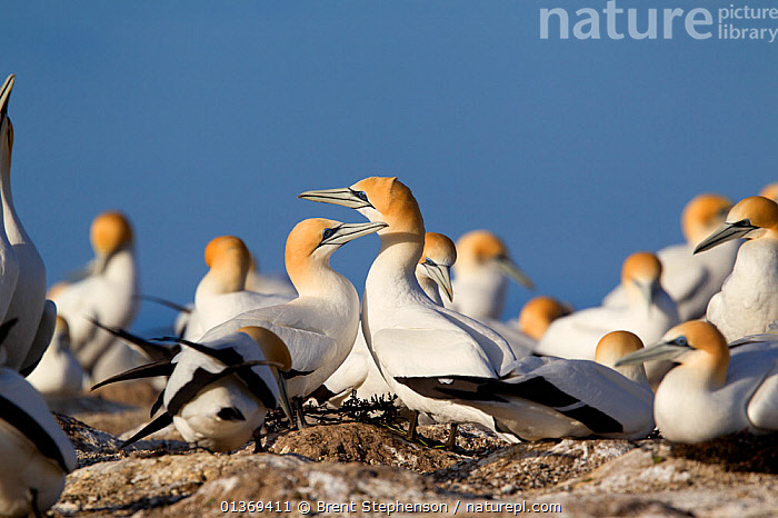 Pair of Australasian Gannets (Morus serrator) at the nest within the breeding colony. Cape Kidnappers, Hawkes Bay, New Zealand, September.  ,  AUSTRALASIA,BIRDS,COLONIES,GANNETS,GROUPS,LARGE GROUPS,MALE FEMALE PAIR,NESTS,NEW ZEALAND,SEABIRDS,SULA,SULIDAE,VERTEBRATES  ,  Brent Stephenson