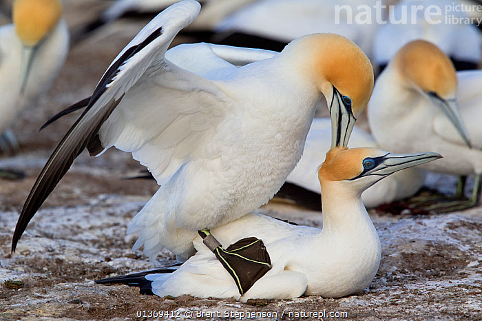 Pair of Australasian Gannets (Morus serrator) mating at the nest. Male has an identification ring used for research purposes. Cape Kidnappers, Hawkes Bay, New Zealand, September.  ,  AUSTRALASIA,BEHAVIOUR,BIRDS,COLONIES,COPULATION,GANNETS,MALE FEMALE PAIR,MATING BEHAVIOUR,NEW ZEALAND,SEABIRDS,SULA,SULIDAE,VERTEBRATES,Reproduction  ,  Brent Stephenson