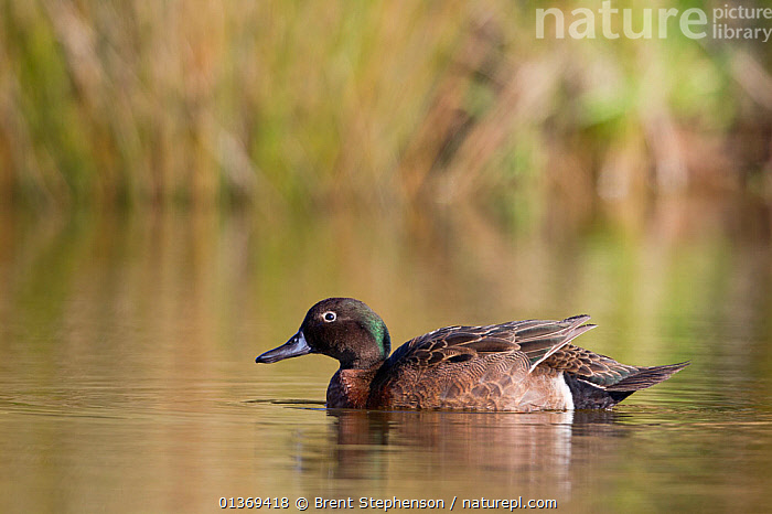 Male Brown Teal (Anas chlorotis) on pond. Cape Kidnappers, Hawkes Bay, New Zealand, October.  ,  AUSTRALASIA,BIRDS,DUCKS,MALES,NEW ZEALAND,PROFILE,REFLECTIONS,SEA SURFACE,VERTEBRATES,WATERFOWL  ,  Brent Stephenson