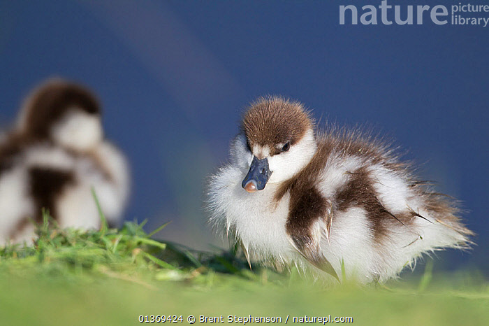 Paradise Shelduck (Tadorna variegata) ducklings. Haumoana, Hawkes Bay, New Zealand, October.  ,  AUSTRALASIA,BIRDS,CHICKS,CUTE,DUCKLINGS,DUCKS,NEW ZEALAND,SMALL,TWO,VERTEBRATES,WATERFOWL,YOUNG  ,  Brent Stephenson