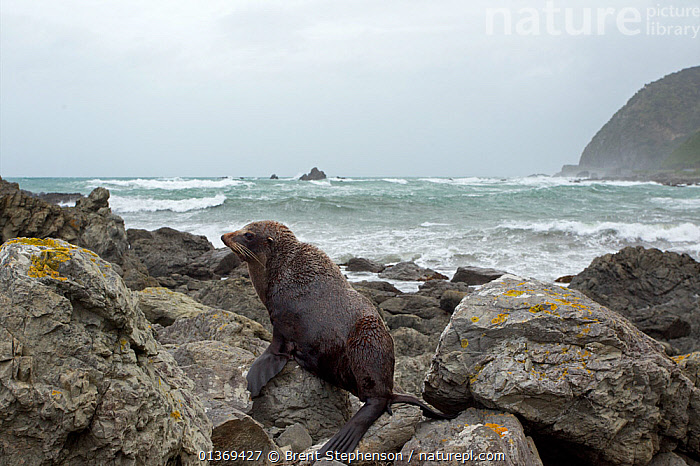 New Zealand Fur Seal (Arctocephalus forsteri) hauled out on rocks with a rough sea in the background. Kaikoura coast, Canterbury, New Zealand, October.  ,  AUSTRALASIA,BEACHES,CARNIVORES,COASTS,FUR SEALS,HABITAT,MAMMALS,MARINE,NEW ZEALAND,OTARIIDAE,PINNIPEDS,VERTEBRATES  ,  Brent Stephenson