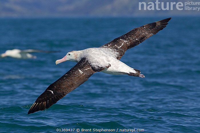 New Zealand Albatross (Diomedea antipodensis) in flight, showing upperwing. Off Kaikoura, Canterbury, New Zealand, October.  ,  ALBATROSSES,ANTIPODEAN ALBATROSS,AUSTRALASIA,BIG,BIRDS,FLYING,FULL FRAME,LARGE,NEW ZEALAND,SEABIRDS,VERTEBRATES,WINGS,WINGSPAN,SIZE  ,  Brent Stephenson