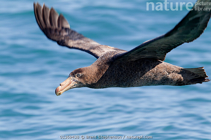 Northern Giant Petrel (Macronectes halli) in flight low to the water. Off Kaikoura, Canterbury, New Zealand, October.  ,  AUSTRALASIA,BIRDS,FLYING,NEW ZEALAND,PETRELS,SEABIRDS,SEA SURFACE,SURFACE,VERTEBRATES,WINGSPAN  ,  Brent Stephenson