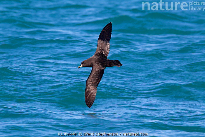 Westland Petrel (Procellaria westlandica) in flight above sea, showing upperwing. Off Kaikoura, Canterbury, New Zealand, October.  ,  AUSTRALASIA,BIRDS,FLYING,NEW ZEALAND,PETRELS,SEABIRDS,VERTEBRATES,WINGSPAN  ,  Brent Stephenson