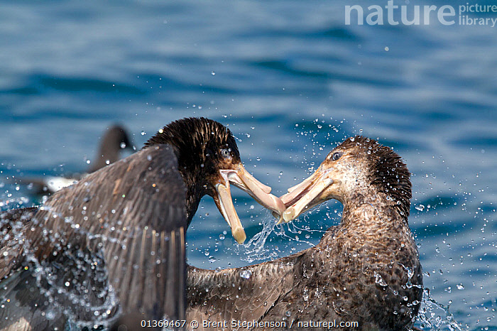 Northern giant petrels (Macronectes halli) fighting over food. Off Kaikoura, Canterbury, New Zealand, October.  ,  ACTION,AGGRESSION,AUSTRALASIA,BEHAVIOUR,BIRDS,FIGHTING,NEW ZEALAND,PETRELS,SEABIRDS,TWO,VERTEBRATES  ,  Brent Stephenson