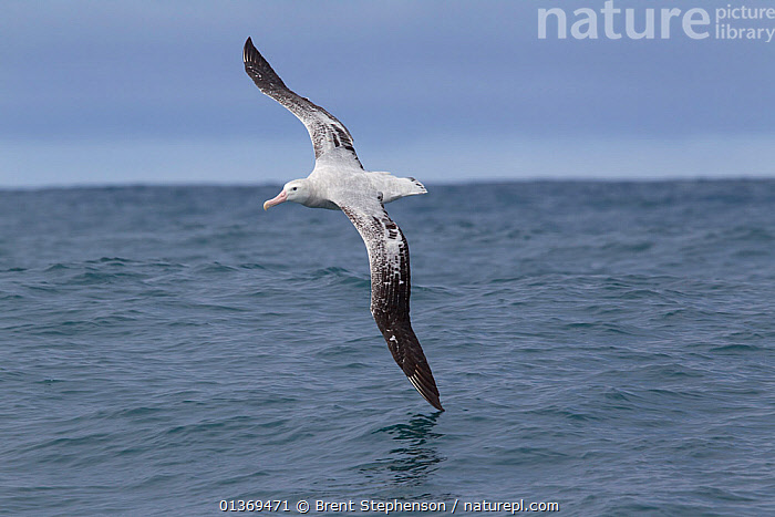 New Zealand Albatross (Diomedea antipodensis) in flight, showing upperwing, wingtip touching the sea surface. Off Kaikoura, Canterbury, New Zealand, October.  ,  AMAZING,AUSTRALASIA,Balance,catalogue4,ELEGANCE,flight,FLYING,horizon,horizon over water,kaikoura,MOVEMENT,new zealand,NEW ZEALAND,Nobody,on the move,one animal,sea,seascapes,sea surface,SURFACE,touching,WILDLIFE,wings spread,wingspan,wingtip,CONCEPTS  ,  Brent Stephenson