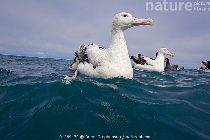 New Zealand Albatross (Diomedea antipodensis) sitting on water. Off Kaikoura, Canterbury, New Zealand, October.  ,  ALBATROSSES,ANTIPODEAN ALBATROSS,AUSTRALASIA,BIRDS,GROUPS,LOW ANGLE SHOT,NEW ZEALAND,PORTRAITS,SEABIRDS,SEA SURFACE,SURFACE,VERTEBRATES  ,  Brent Stephenson