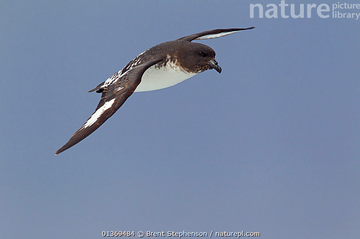 Cape / Pintado Petrel (Daption capense australe) in flight against the sky. Off Kaikoura, Canterbury, New Zealand, October.  ,  AUSTRALASIA,BIRDS,CAPE PIGEON,GLYING,NEW ZEALAND,PETRELS,SEABIRDS,VERTEBRATES  ,  Brent Stephenson