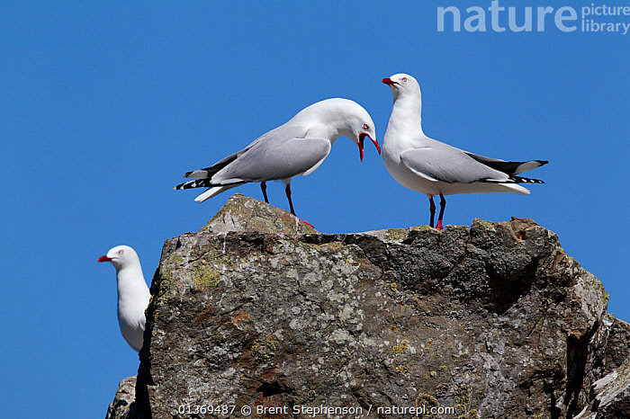 Red-billed gulls (Chroicocephalus scopulinus) calling and displaying from a rock. Ohau Point, Canterbury, New Zealand, October.  ,  AUSTRALASIA, BIRDS, CALLING, DISPLAY, GULLS, Laridae, NEW-ZEALAND, SEABIRDS, THREE, VERTEBRATES, VOCALISATION,Communication  ,  Brent Stephenson