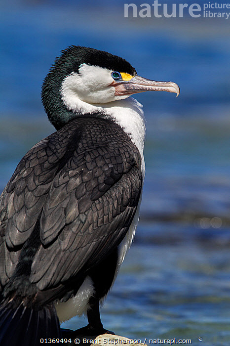 Pied Cormorant (Phalacrocorax varius) resting on a rock. Kaikoura, Canterbury, New Zealand, October.  ,  AUSTRALASIA,BIRDS,CORMORANTS,FULL FRAME,NEW ZEALAND,PORTRAITS,PROFILE,SEABIRDS,VERTEBRATES  ,  Brent Stephenson