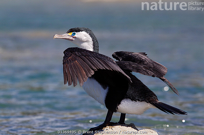 Pied Cormorant (Phalacrocorax varius) on rock, spreading its wings to dry them. Kaikoura, Canterbury, New Zealand, October.  ,  AUSTRALASIA,BIRDS,CORMORANTS,NEW ZEALAND,SEABIRDS,VERTEBRATES  ,  Brent Stephenson