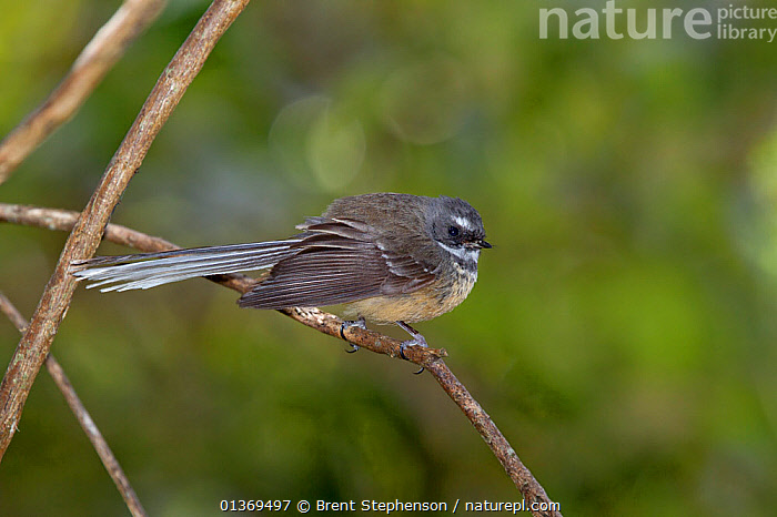 New Zealand Fantail (Rhipidura fuliginosa) perched in a bush. Kaikoura, Canterbury, New Zealand, October.  ,  AUSTRALASIA,BIRDS,FANTAILS,NEW ZEALAND,RHIPIDURIDAE,SONGBIRDS,VERTEBRATES  ,  Brent Stephenson