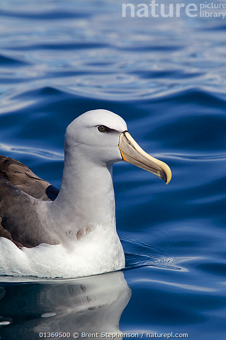 Salvin's Albatross (Thalassarche salvini) on water. Off Kaikoura, Canterbury, New Zealand, October.  ,  ALBATROSSES,AUSTRALASIA,BIRDS,NEW ZEALAND,PORTRAITS,SEABIRDS,SEA SURFACE,SURFACE,VERTEBRATES,VERTICAL  ,  Brent Stephenson