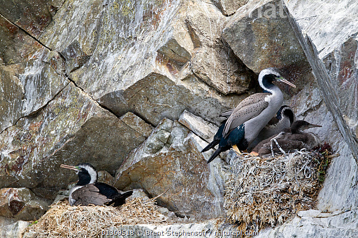 Spotted Shags (Phalacrocorax punctatus) at their nests with young. Ohau Point, Canterbury, New Zealand, October.  ,  AUSTRALASIA,BIRDS,CHICKS,CORMORANTS,GROUPS,NESTS,NEW ZEALAND,SEABIRDS,TWO,VERTEBRATES  ,  Brent Stephenson