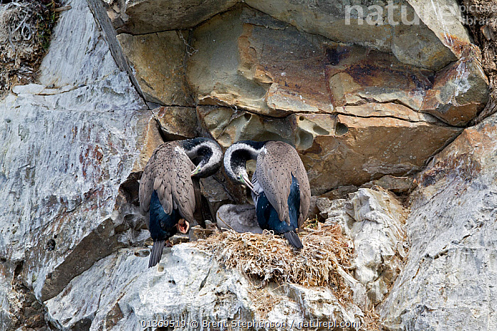 A pair of Spotted Shags (Phalacrocorax punctatus) preening at their nest with young. Ohau Point, Canterbury, New Zealand, October.  ,  AUSTRALASIA,BIRDS,CORMORANTS,FAMILIES,GROUPS,MALE FEMALE PAIR,NESTS,NEW ZEALAND,SEABIRDS,THREE,TWO,VERTEBRATES  ,  Brent Stephenson