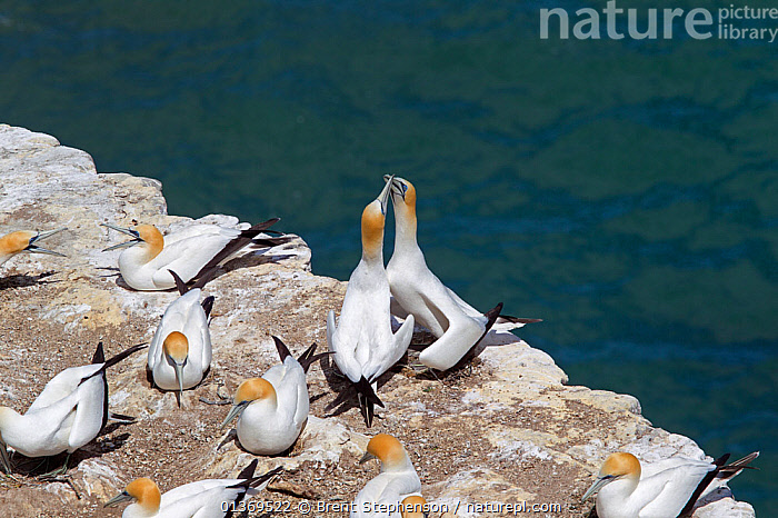 Pair of Australasian Gannets (Morus serrator) rubbing their bills together in a greeting display at the nest. Muriwai, Auckland, New Zealand, November.  ,  AUSTRALASIA,BEHAVIOUR,BIRDS,BREEDING,COLONIES,COURTSHIP,GANNETS,GROUPLS,MALE FEMALE PAIR,NESTS,NEW ZEALAND,SEABIRDS,SULA,SULIDAE,VERTEBRATES  ,  Brent Stephenson