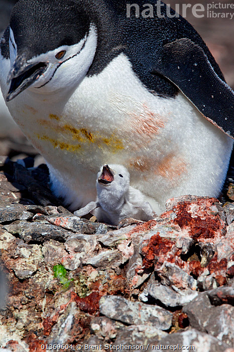 Chinstrap Penguin (Pygoscelis antarctica) with small chick begging for food. Half Moon Island, Antarctic Peninsula, Antarctica, December.  ,  ANTARCTICA,BIRDS,CALLING,CHICKS,FLIGHTLESS,MOTHER BABY,NESTS,PENGUINS,POLAR,SEABIRDS,SMALL,VERTEBRATES,VERTICAL,VOCALISATION,YOUNG,SIZE  ,  Brent Stephenson