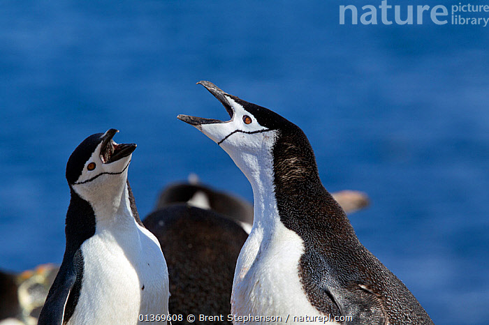 Chinstrap Penguin (Pygoscelis antarctica) pair greeting each other at the nest. Half Moon Island, Antarctic Peninsula, Antarctica, December.  ,  ANTARCTICA,BIRDS,CALLING,COLONIES,DISPLAY,FLIGHTLESS,INTERACTION,MALE FEMALE PAIR,PENGUINS,POLAR,SEABIRDS,TWO,VERTEBRATES,VOCALISATION,Communication  ,  Brent Stephenson