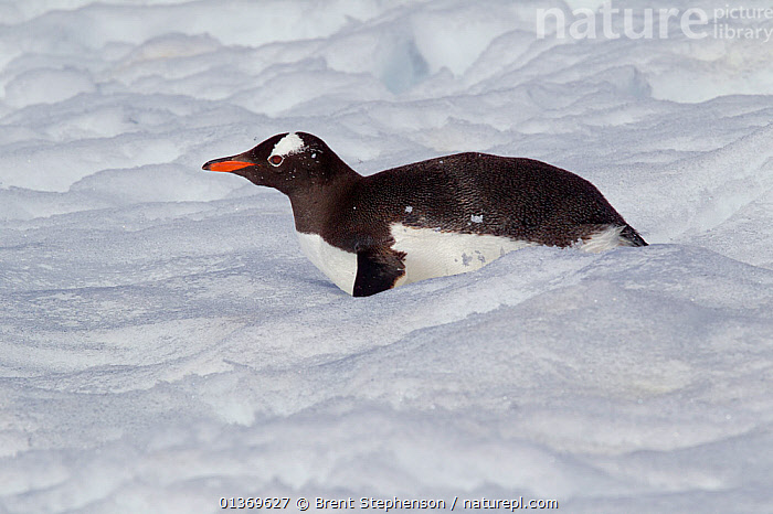 Gentoo Penguin (Pygoscelis papua) tobogganing through snow. Mikkelsen Harbour, Antarctic Peninsula, Antarctica, December.  ,  ANTARCTICA,BIRDS,FLIGHTLESS,ICE,PENGUINS,POLAR,SEABIRDS,SNOW,TOBOGANNING,VERTEBRATES  ,  Brent Stephenson