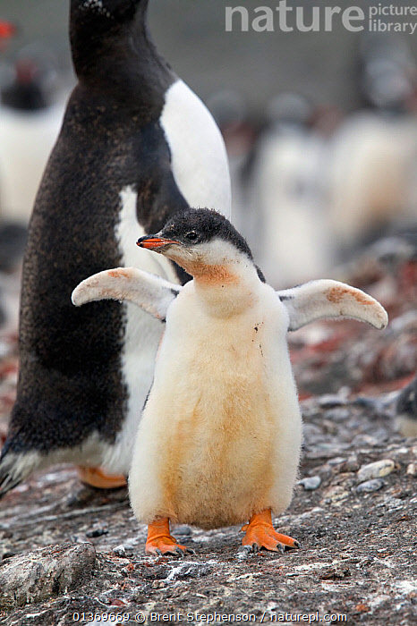 Gentoo Penguin (Pygoscelis papua) chick with flippers outstretched, half grown. Aitcho Island, South Shetland Islands, Antarctica, January.  ,  ANTARCTICA,BIRDS,CHICKS,FLIGHTLESS,PENGUINS,POLAR,PORTRAITS,SEABIRDS,SOUTH ATLANTIC ISLANDS,SOUTH SHETLAND ISLANDS,SUBANTARCTIC ISLANDS,VERTEBRATES,VERTICAL,YOUNG  ,  Brent Stephenson