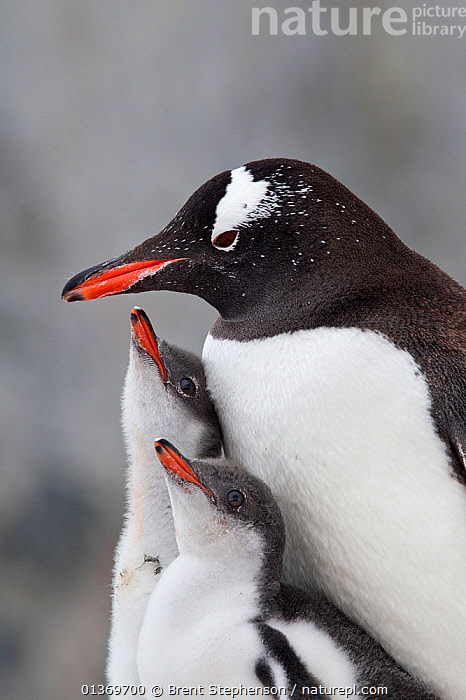 Gentoo Penguin (Pygoscelis papua) with two large chicks. The chicks are begging to be fed by the adult. Petermann Island, Antarctic Peninsula, Antarctica, January.  ,  ANTARCTICA,BIRDS,CHICKS,FAMILIES,FLIGHTLESS,PARENTAL,PENGUINS,POLAR,SEABIRDS,THREE,TWO,VERTEBRATES,VERTICAL  ,  Brent Stephenson