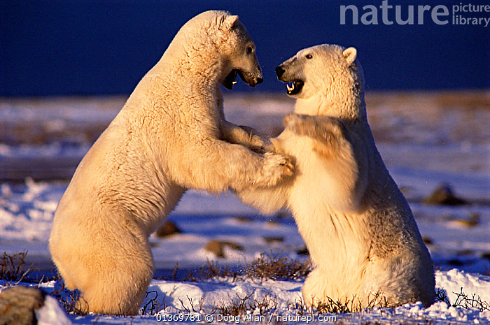 Two young male Polar Bears (Ursus maritimus) play fighting. Hudson Bay, Churchill, Canada. Frame book plate page 99.  ,  ACTION,AGGRESSION,ARCTIC,BEARS,CANADA,CARNIVORES,ENDANGERED,FIGHTING,FREEZE FRAME,MALES,MAMMALS,MARINE,PLAYING,POLAR,TWO,VERTEBRATES,YOUNG,North America  ,  Doug Allan