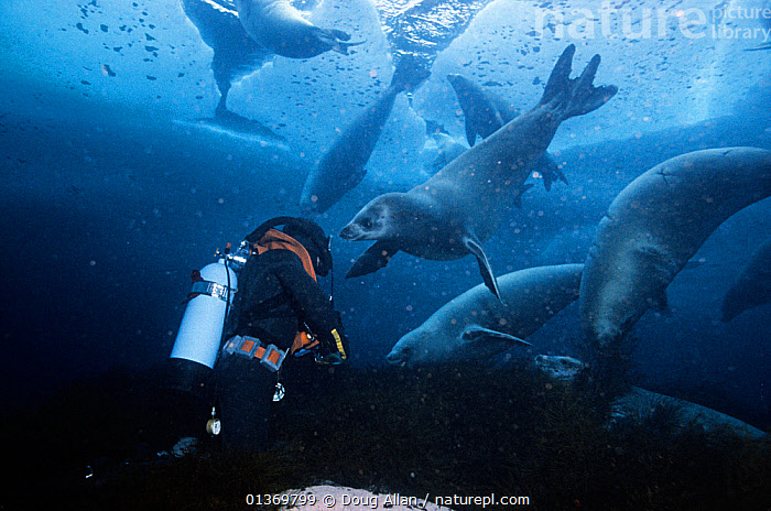 Rick Price filming Crabeater seals (Lobodon carcinophagus) underwater, several seals are pulling kelp from the seabed, Normanna Strait, Signy Island, South Orkney Islands, Antarctica, August, Freeze Frame book plate page 97  ,  ANTARCTIC,ANTARCTICA,BEHAVIOUR,CARNIVORES,DIVING,FILMING,FREEZE FRAME,GROUPS,MAMMALS,MARINE,PEOPLE,PINNIPEDS,SEALS,SEAWEED,UNDERWATER,VERTEBRATES,Plants  ,  Doug Allan