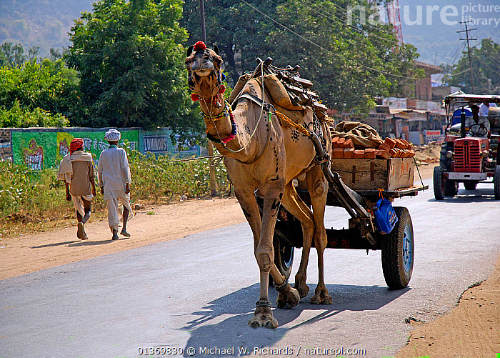 Domestic camel carrying bricks on cart, Rajasthan, India, 2005  ,  ASIA,CARTS,DOMESTICATED,INDIAN SUBCONTINENT,MAMMALS,PEOPLE,ROADS,TRACTORS,TRADITIONAL,TRANSPORT,VEHICLES,WORKING  ,  Michael W. Richards