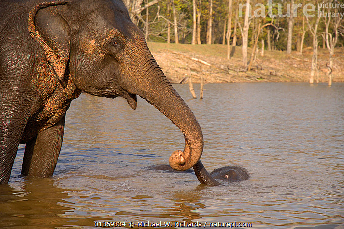 Baby Indian elephant (Elephas maximus) bath time with mother, Pench National Park, Madhya Pradesh, India.  ,  ASIA,BABIES,BATHING,CUTE,DOMESTICATED,ELEPHANTS,ENDANGERED,FEMALES,INDIAN SUBCONTINENT,JUVENILE,MAMMALS,MOTHER AND YOUNG,NP,PARENTAL,PROBOSCIDS,PROTECTIVE,RESERVE,TRUNKS,VERTEBRATES,WASHING,WATER,YOUNG,National Park  ,  Michael W. Richards