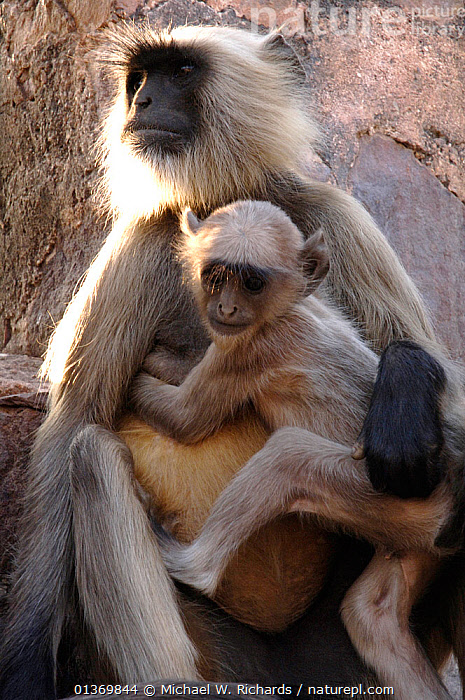 Hanuman / Northern plains grey langur monkey and young (Semnopithecus entellus) India  ,  ASIA,ASIAN,BABIES,BENGAL HANUMAN LANGUR,CERCOPITHECIDAE,FEMALES,INDIAN SUBCONTINENT,JUVENILE,LANGURS,LEAF MONKEY,MAMMALS,MATERNAL,MONKEYS,MOTHER,MOTHER AND YOUNG,PARENTAL,PORTRAITS,PRESBYTIS ENTELLUS,PRIMATES,VERTEBRATES,VERTICAL,YOUNG  ,  Michael W. Richards