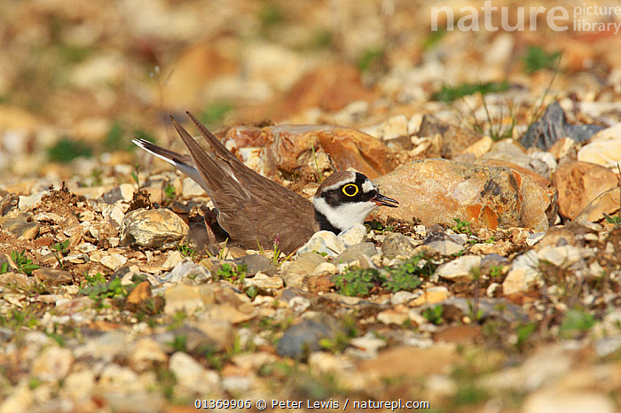 Little ringed plover (Charadrius dubius) in courtship display, the male attracts the female to the nest site by scraping, Ringwood, Hampshire, UK, April  ,  BEHAVIOUR,CAMOUFLAGE,COURTSHIP,DISPLAY,DISPLAYING,ENGLAND,EUROPE,MALES,MATING BEHAVIOUR,NESTS,UK,Communication,United Kingdom  ,  Peter Lewis