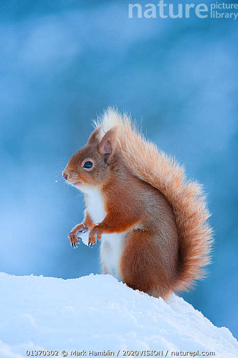 Red Squirrel (Sciurus vulgaris) adult in snow, Cairngorms National Park, Scotland, UK, February  ,  2020VISION,CALEDONIAN PINE FOREST,CALEDONIAN PINEWOODS,EUROPE,FORESTS,HIGHLANDS,IWA14,MAMMALS,NP,RODENTS,SCIURIDAE,SCOTLAND,SNOW,SQUIRRELS,UK,VERTEBRATES,VERTICAL,WINTER,WOODLANDS,National Park,United Kingdom,2020cc  ,  Mark Hamblin / 2020VISION