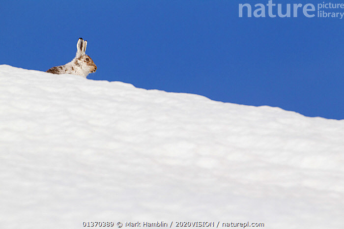 Mountain hare (Lepus timidus) with partial winter coat, head peering over a snow-covered skyline, Scotland, UK, April, 2020VISION,COPYSPACE,EUROPE,HARES,HIGHLANDS,LAGOMORPHS,MAMMALS,MOUNTAINS,ONE,PORTRAITS,SCOTLAND,UK,UPLANDS,VERTEBRATES,United Kingdom,2020cc, Mark Hamblin / 2020VISION