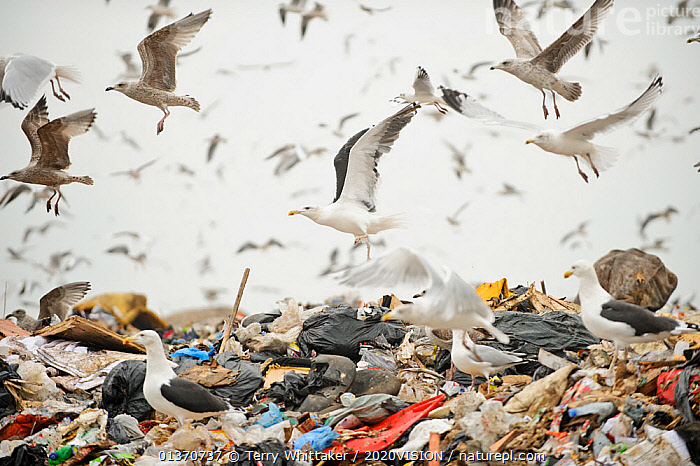 Lesser black-backed gulls (Larus fuscus), Herring gulls (Larus argentatus), Black-headed gulls (Larus ridibundus) and Starlings (Sturnus vulgaris) feeding on landfill site, Pitsea, Essex, England, UK, November 2011. Did you know? Gulls can show tool using behaviour - for example using bait to catch fish., 2020VISION,BIRDS,CITIES,ENGLAND,EUROPE,FLOCKS,FLYING,GREATER THAMES FUTURESCAPES PROJECT,GULLS,LANDSCAPES,LARIDAE,MIXED SPECIES,REFUSE,picday,RSPB,SEABIRDS,UK,URBAN,VERTEBRATES,United Kingdom,2020cc, Terry Whittaker / 2020VISION